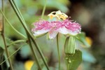 insomnio2014-6-pasiflora
