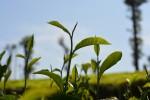 te-verd-plantes-medicinals