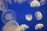 meduses (1)